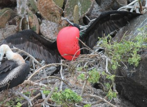 Great frigatebird working on attracting a mate by inflating his fancy red chest balloon