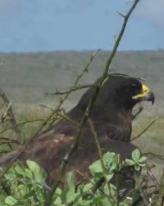 Galapagos Hawk, identified by our guide as the top predator in the Galapagos