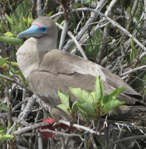 Lesser known, but prettier, red-footed booby