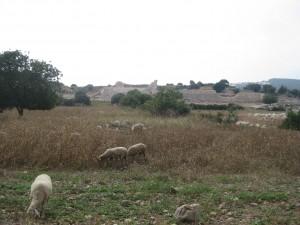 Sheep grazing near the beach road--amphitheater ruins in the background