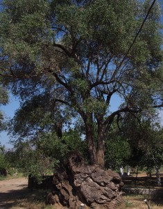 800-year-old olive tree at Nostos Winery