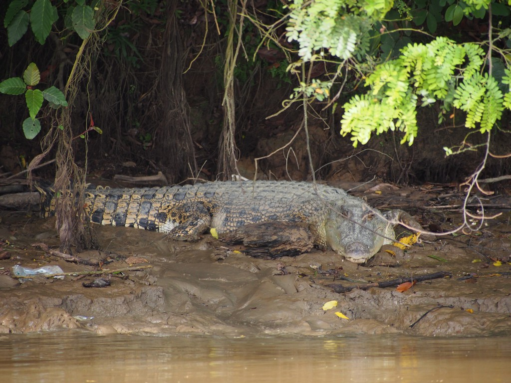 Crocodile, who moments later slipped into the water right next to our boat